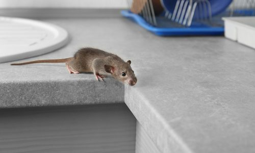 5 Signs You Have a Mice Infestation Problem