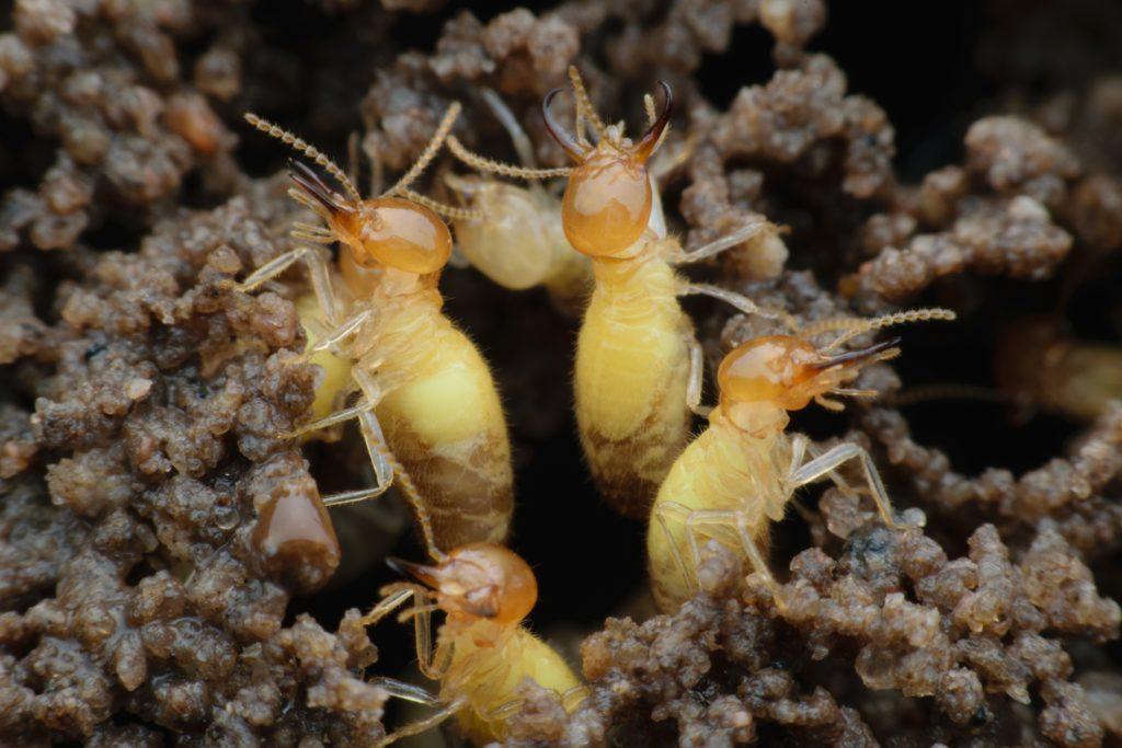 Formosan Termite Swarm