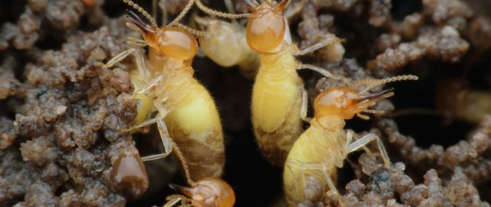 The Swarm: Formosan Termites