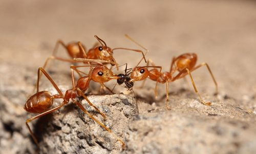 Invasive Species Alert: Imported Red Fire Ants
