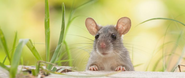 Preventing Rodents From Entering Your Home