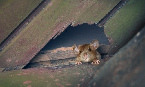 Detecting & Removing Rodents From Your Home