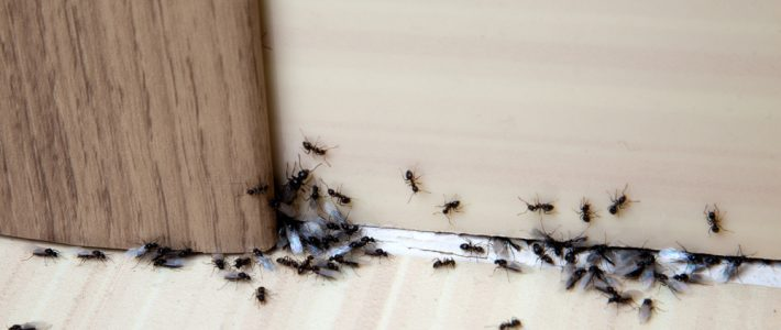 Ant Management Tips to Use This Summer